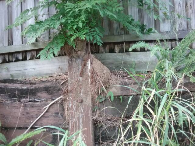 Termite nest in backyard