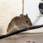 %d1%81loseup-mouse-gnaws-wire-in-an-apartment-house-near-wall-and-electrical-outlet-inside-high-rise-buildings-fight-with-mice-in-the-apartment-extermination-small-dof-focus-put-only-to-wire